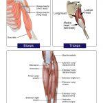 Arms (Biceps Triceps ) Anatomy